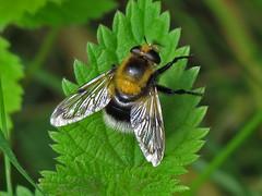 Hoverfly - Volucella bombaylans