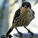 Small photo of Metallic Starling (Aplonis metallica) female