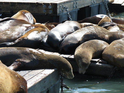 Sea lions, Fisherman's Wharf