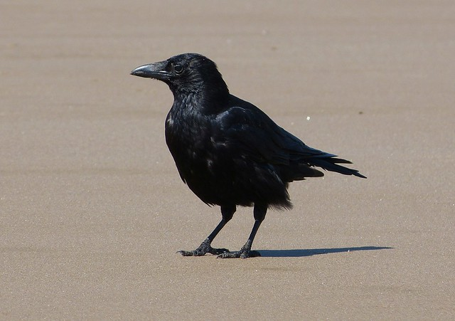 27641 - Carrion Crow, Rhossili