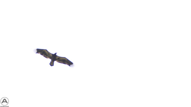Juvenile Bald Eagle soaring