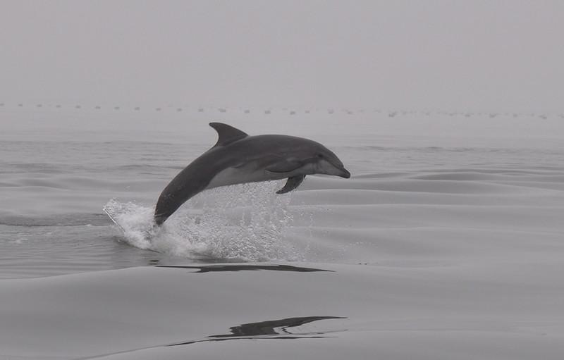 Delfin vor Walfishbay in Namibia