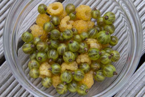 """Black currant """"Vertti"""" & yellow raspberry """"Helkal"""" / Harilik vaarikas """"Helkal"""" ja must sõstar """"Vertti"""" (roheline vorm) / Rubus idaeus 'Helkal'"""
