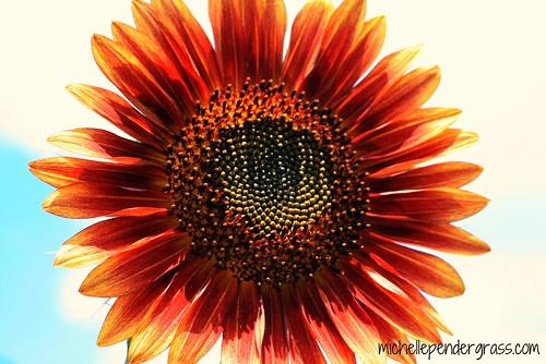 sunflower2 by MichellePendergrass