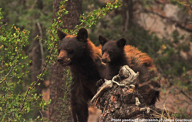 A mama black bear and her cub