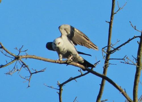 Loveland Mississippi Kite