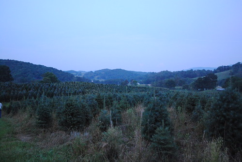 tree farm fir wholesale concolor severtstreefarm concolors wholesaleconcolorchristmas treesseverts