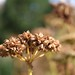 Small photo of Lovage (Levisticum officinale)