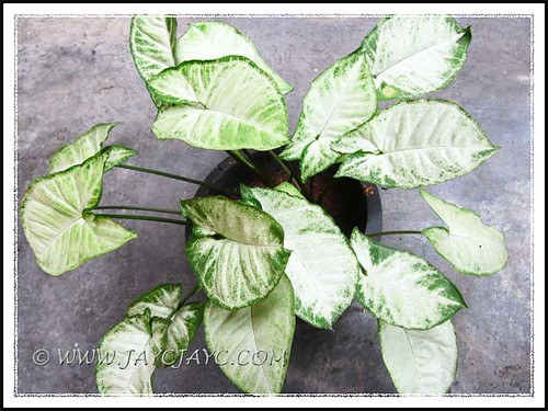 Potted Syngonium podophyllum 'Pixie' with less obvious variegation when located at our porch with low light