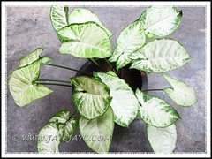 Potted Syngonium podophyllum 'Pixie' with dull variegation when located at our porch with low light, March 17 201