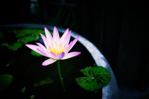 [フリー画像素材] 花・植物, 蓮・ハス ID:201211090600