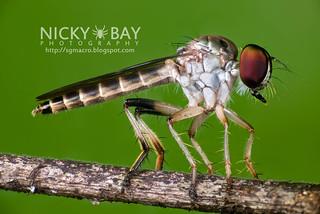 Robberfly (Asilidae) - DSC_5533