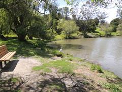 Great Egrett Milpitas CA (12)