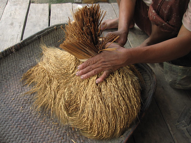 Shredding the grains off the stalks