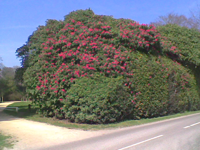 Rhododendron Heaven's Gate