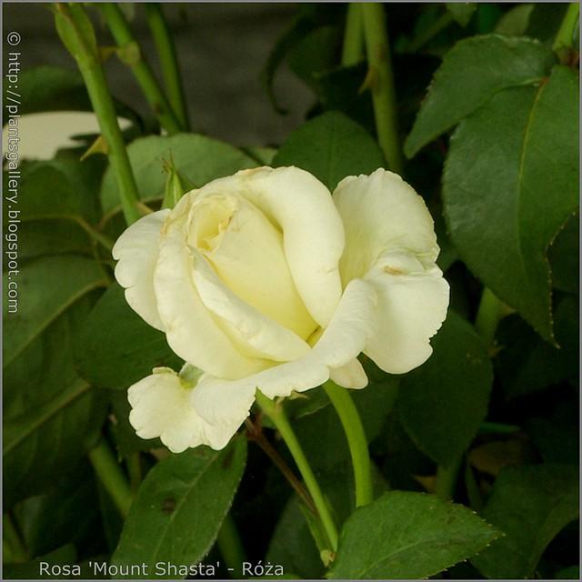 Rosa 'Mount Shasta' - Róża 'Mount Shasta'
