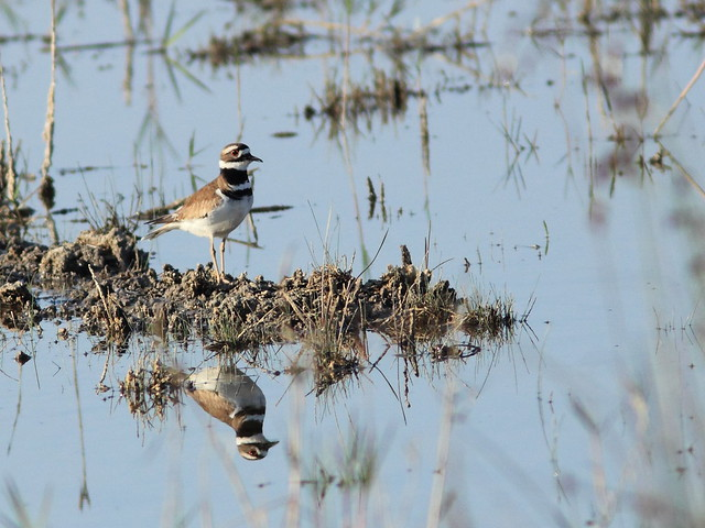 Killdeer 20120404