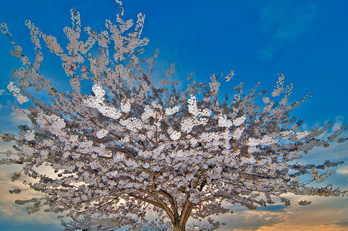 Cherry blossom  by petetaylor