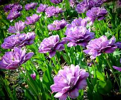 Tulips-Tulsa, OK