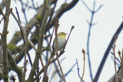 The Wood Warbler by julian sawyer
