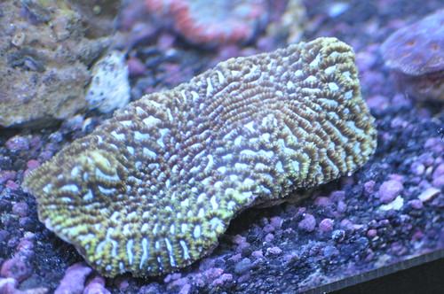 7008944517 cc8ba47e0c - Coral from Solomon, Fiji, and Tonga  collector stuff.