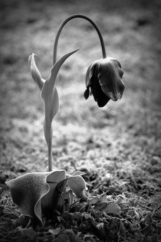 Sad Tulip
