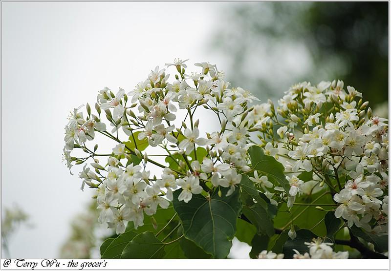 2012-04-19 挑水古道桐花