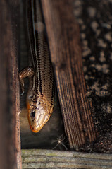 Skink-4842.jpg by Mully410 * Images