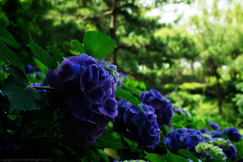 hydrangea 紫陽花 #1