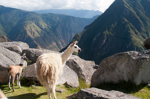 Machu Picchu : Llamas