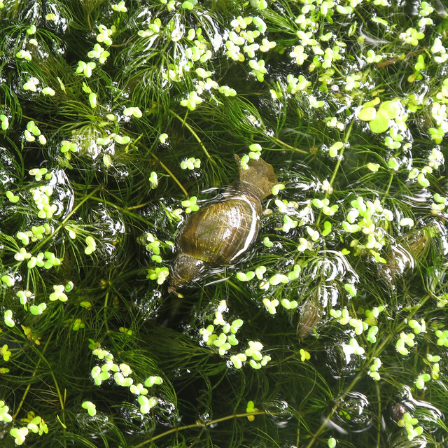 Poelslak pond snail flickr photo sharing for Garden pond snails