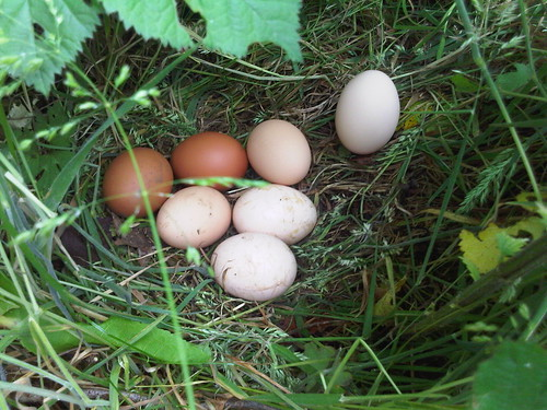 eggs on allotment Jul 12