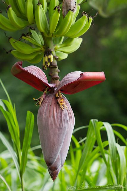 Banana Flower, near the Rio Frio, Costa Rica, 2012