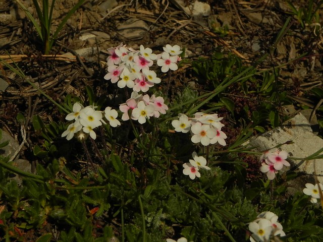 Androsace villosa=Androsace velue