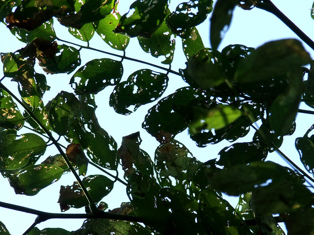 black locust foliage