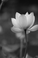 Amazing Lotus Flower Who Do You Think Of The First Sight L Flickr