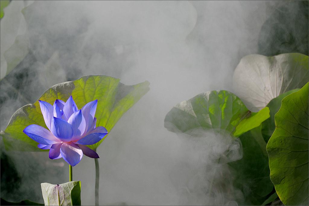 On Black Blue Lotus Flower Dd0a0347 1 1000 By Bahman Farzad Large