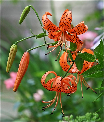 I'm Addicted To Tiger Lilies