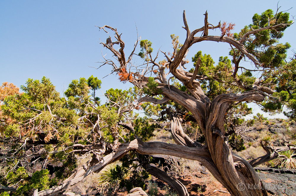 Juniper tree in New Mexico