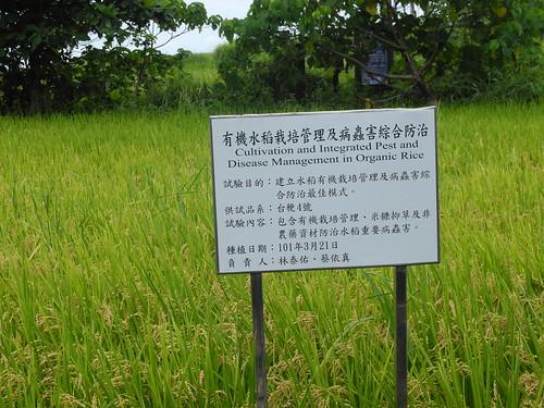 花蓮場在港口部落水梯田建立一塊示範田,陪伴部落老農種植生態豐富的健康有機米。