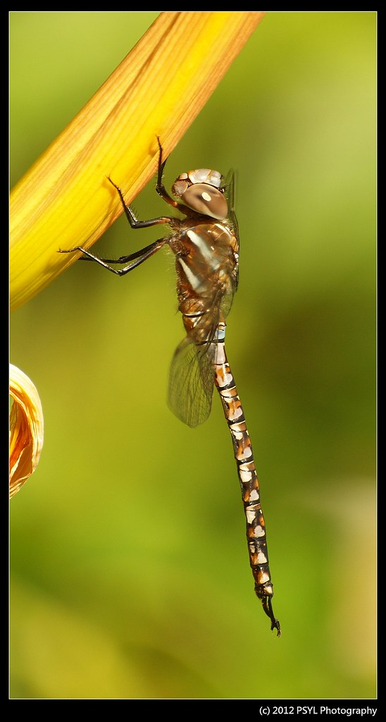 Blue Darner (Aeshna sp.)