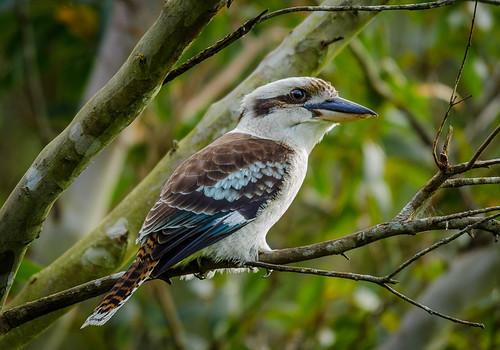 bird laughing james nikon australian sigma australia kookaburra niland 150500 d5100 jamesniland