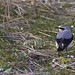Northern Wheatear (Derek Mills)