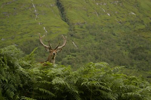 scotland stag antlers glenetive explored pentaxk100dsuper
