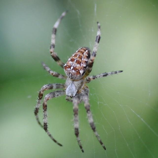 Common Garden Spider Flickr Photo Sharing