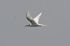 Black-naped Tern (Sterna sumatrana)