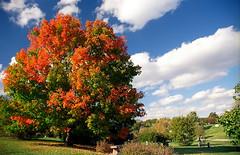 """Cincinnati - Spring Grove Cemetery & Arboretum """"Suger Maple"""""""