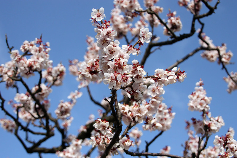 cherry blossoms in hirosaki