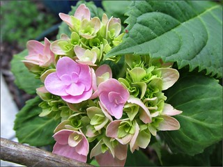 Hydrangeas beginning to bloom