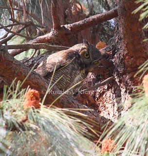 Great Horned Owl (Bubo virginianus), Sepulveda Basin Wildlife Reserve, Los Angeles, CA
